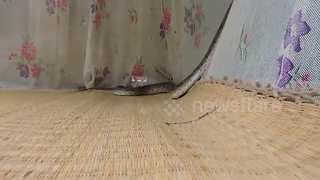 Sleeping woman finds deadly viper inside her mosquito net - Video