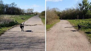 Persistent Pooch Speeds Round With Stick In Mouth Almost Four Times Longer Than It
