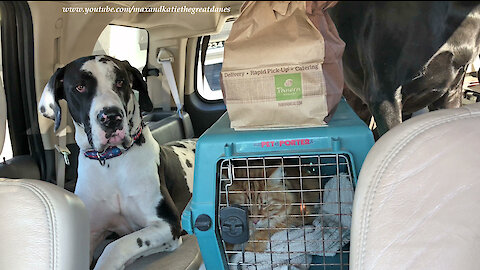 Happy Great Danes and Cat Pick Up Pastries at Panera Bread