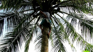 First and the last time climbing on a coconut palm, Koh Phangan, Thailand  - Video