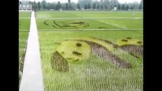 Giant pandas carved out of rice field in China's Sichuan Province - Video