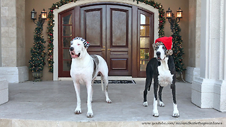 Hilarious Great Dane Steals Santa Hat from his Sister  - Video