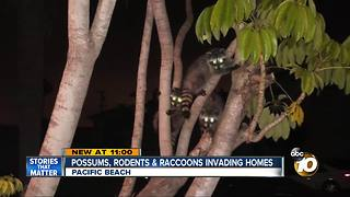 Possums, rodents and raccoons invading homes - Video