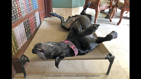 Funny Great Dane Loves Relax Upside Down In Her Bed