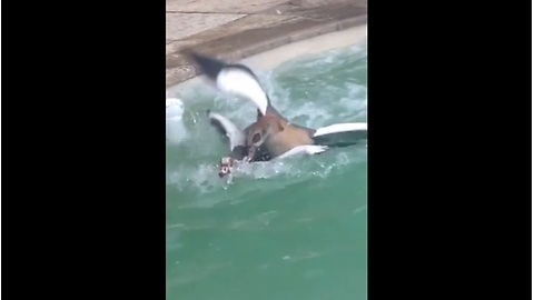 Egyptian Geese battle it out in backyard pool