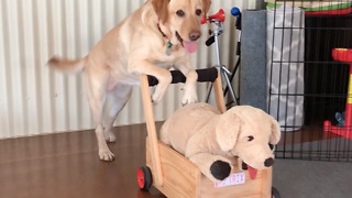 Gentle Labrador Pushes Its Pram Across The Living Room