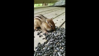 How many sunflower seeds can this chipmunk fit in its mouth?