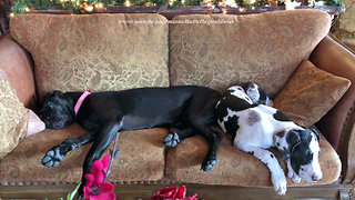 Great Dane and Puppy Enjoy a Nap on the Sofa - Video