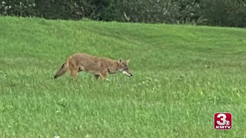Coyote sighted in field by Bellevue shopping center