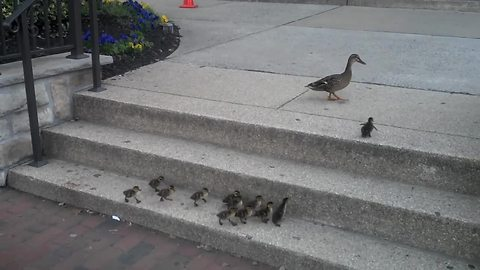 Ducklings Accomplish Grueling Task Of Climbing Stairs