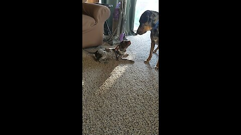 Doggy and puppy playtime will melt your heart