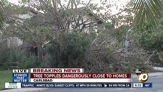 Large tree comes down near Carlsbad home