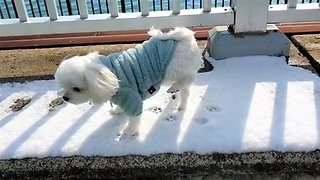 Maltese refuses to walk in the cold snow