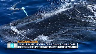Video shows close-up whale shark sightings off Anna Maria Island - Video