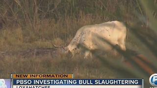 PBSO investigating bull slaughtering - Video
