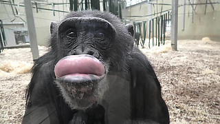 Chimpanzee makes funny faces at her own reflection - Video