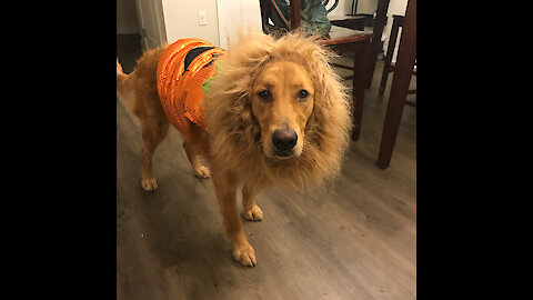 Not amused golden/pumpkin/lion