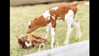 Not Just Man's Best Friend: Calf Enjoys Playtime With Puppy Pal