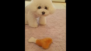 Hilarious poodle desperately wants owner to throw toy