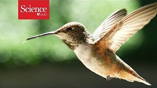 What makes hummingbirds such agile flyers? - Video