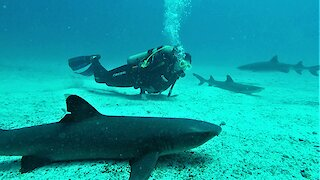 Scuba divers join large school of sharks resting on the ocean floor