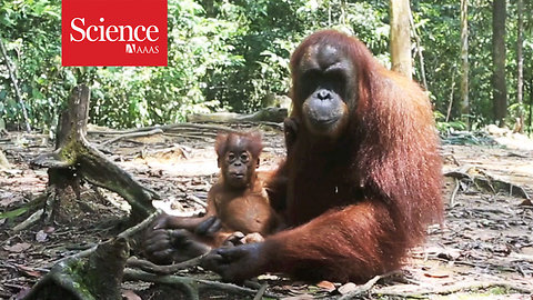 Orangutans are the only great apes—besides humans—to 'talk' about the past