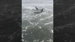 Great White Shark Struggles to Break Out of Low Tide - Video