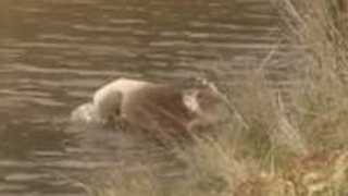 Koala Crosses Flooded Paddock on Kangaroo Island - Video