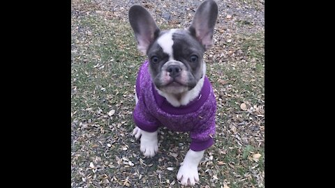French Bulldog puppy's first jumper