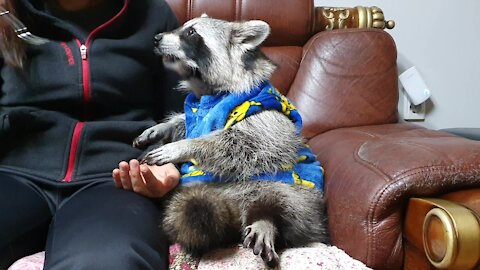 Pajama-wearing raccoon enjoys tasty snack with his owner