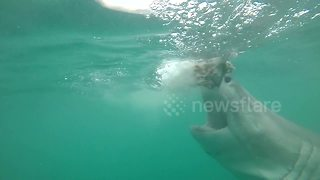 Huge Great White Shark Lunges At Bait With Jaws Wide Open - Video