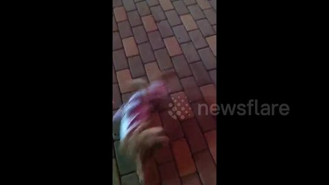 Poodle plays dead when owner pretends to shoot her
