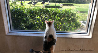 Happy Bird Watching Cat Gets Turkey Surprise