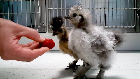Bizarre & beautiful chicks visit veterinarian for a checkup