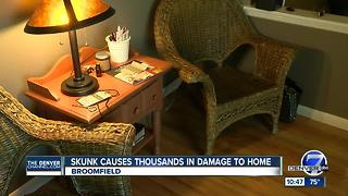 Skunk damages Broomfield home - Video