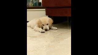 Puppy Fights Off Evil Lemon Attack - Video