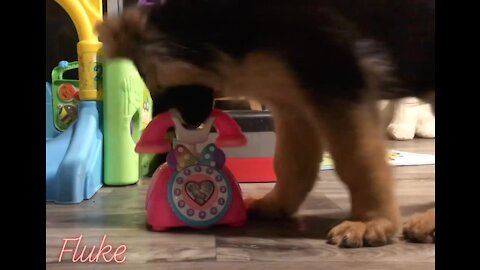 German Shepherd puppy answers telephone for service dog training