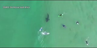 Surfer has close encounter with great white shark