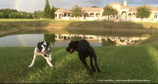 Playful Great Dane and Puppy Love to Play Roll Over and Over  - Video