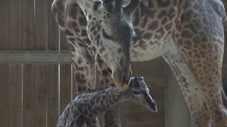 Giraffe birth at Brevard Zoo - Video