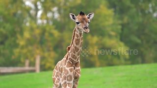 Rare moment captured on CCTV as Giraffe gives birth - Video