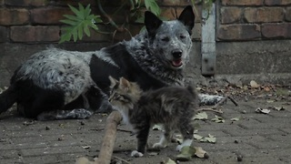 Cattle dog befriends adorable disabled kitten