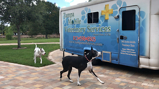 Happy Great Danes go to the Veterinarian  - Video