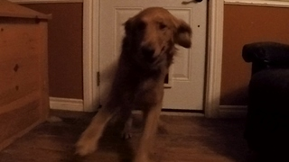 River Of Excited Golden Retrievers Explodes Through Doggy Door - Video