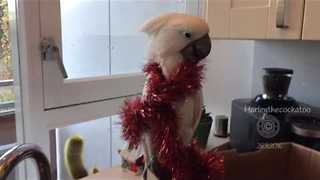 Festive Cockatoo Decorates Herself for Christmas - Video