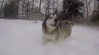 Alaskan Malamute so incredibly happy to be jumping through the snow  - Video