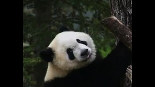 Baby Pandas Play Outside - Video