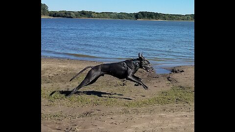 Great Dane running at the lake