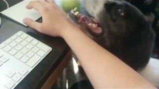 Man Shares Creative Way to Keep Dog Amused While Working - Video