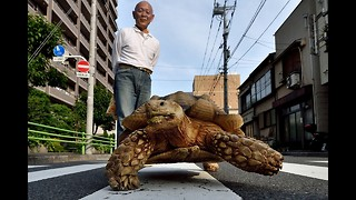Man Walks Pet Tortoise in Japan - Video